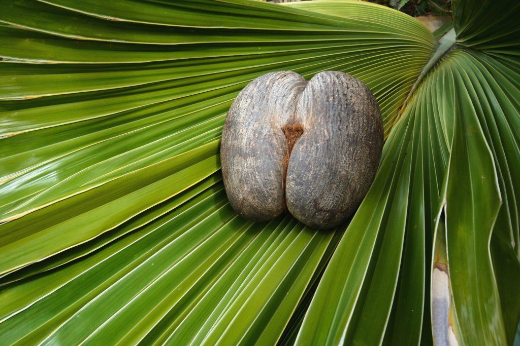 Female Coco De Mer nut on coco de mer leaf. Photo credit -Gerald Larose