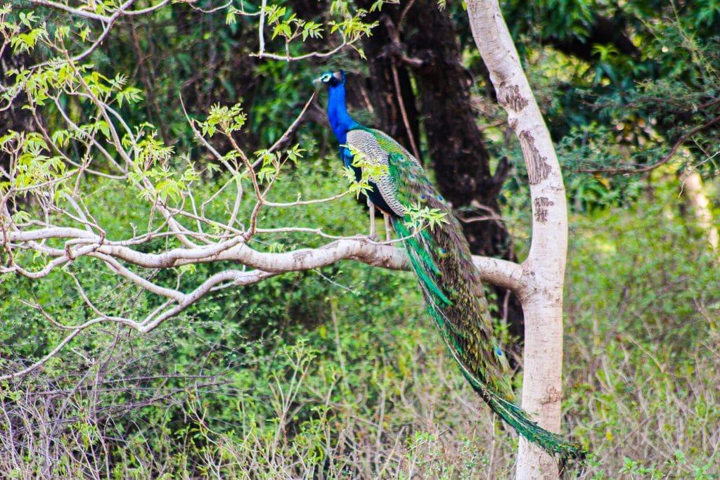 Ranthambore National Park Peacock