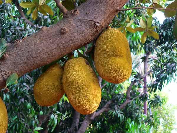 Jackfruit aka Phanas - delicious fruits of Maharashtra