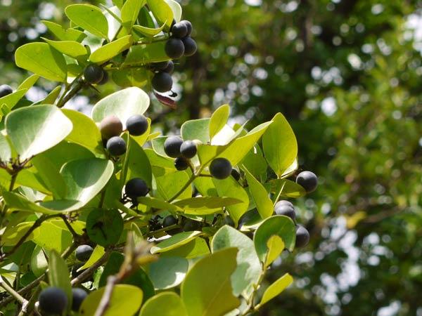Wild Berries aka Karwand/Karonda - delicious fruits of Maharashtra